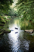 Black labrador does flying leap while leaping into River Teign on Dartmoor at Chagford in Devon to cool off on a very hot day
