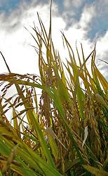 Colheita do Arroz em uma lavoura do município de Camaquã. FOTO: Jefferson Bernardes/Preview.com