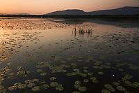 Yellow water lilies (Nuphar lutea) and white water lilies (Nymphaea alba). Deransko Lake, Hutovo Blato Nature Park. Ramsar Site and an Importan Bird Area (IBA). Bosnia-Herzegovina. May 2009.<br /> Elio della Ferrera / Wild Wonders of Europe
