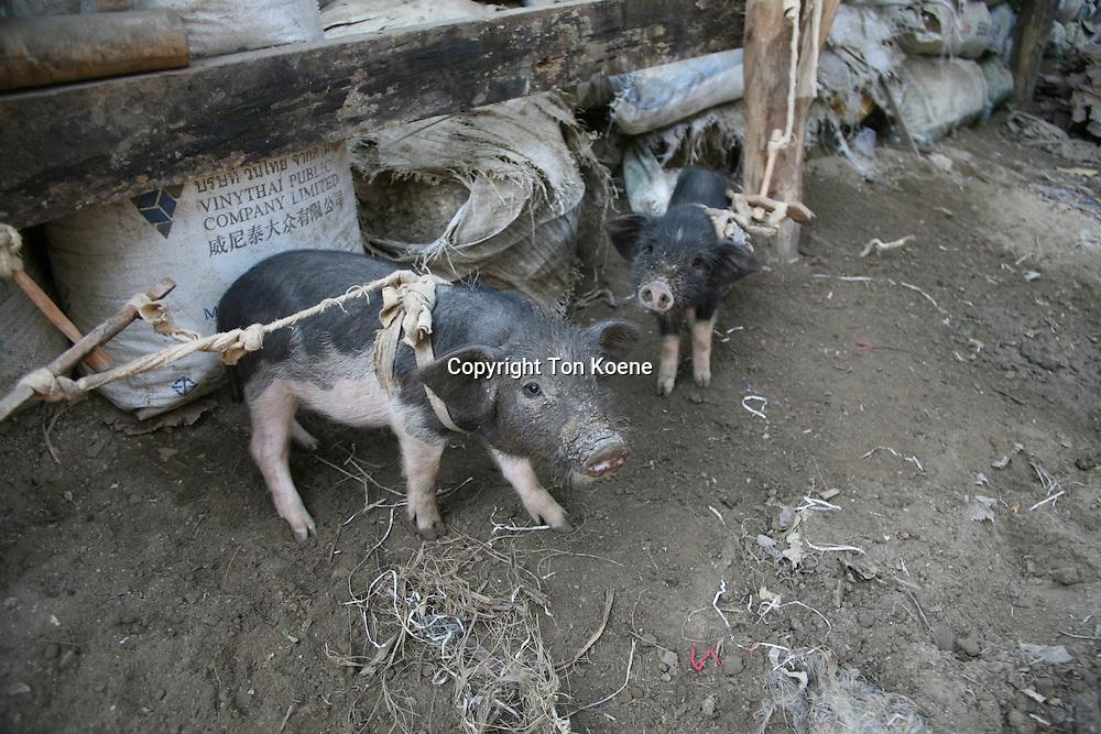 pig in Thailand