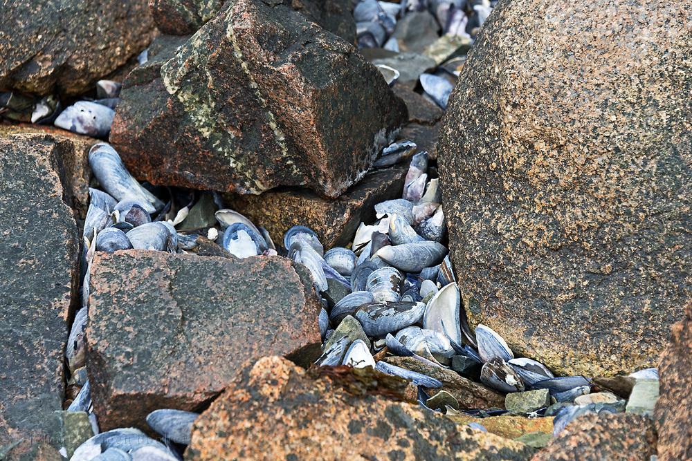 Blue Mussel shells (Mytilus edulis)washed up between pink granite boulders, Northeast Harbor, Maine