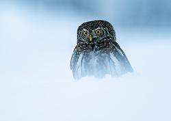 Eurasian pygmy-Owl (Glaucidium passerinum) in winter forest in Krokskogen, Viken, Norway