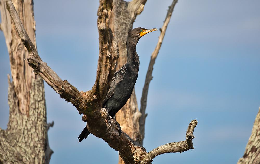 Cormorant on a dead live oak tree.