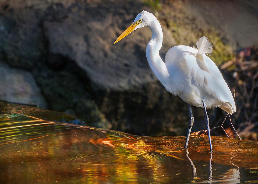 Seabirds of Long Island Sound. Egret at Binney Park in Greenwich, CT.
