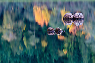 Deadheads along the shore in Silver Lake Provincial Park near Hope, British Columbia, Canada