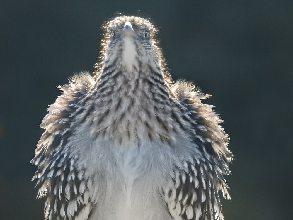 A roadrunner dries out its feathers