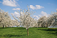 Cherry trees with spring blossoms, Franconia, Bavaria, Germany