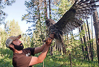 BRADLY J. BONER / NEWS&GUIDE <br /> Craighead Beringia South biologist Bryan Bedrosian lets a captured grey owl spread its wings to allow a newly-attached tracking device work into its feathers last week near Red Top Meadows. Bedrosian has been putting transmitters and ID bands on several owls in order to study the birds' home range.