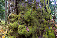 1200 year old old growth Alaska Yellow Cedar tree