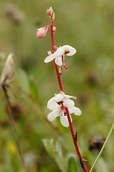 Rond wintergroen, Pyrola rotundifolia