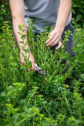 Summer pruning gooseberries - shortening stems