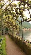 An arbor of Lady Banks rose in the gardens of Villa Monastero, Varenna, Italy, on Lake Como.