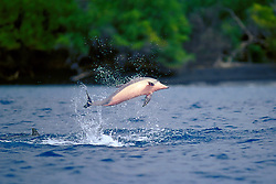 long-snouted spinner dolphin calf leaping, Stenella longirostris, Milolii, Big Island, Hawaii, Pacific Ocean
