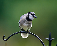 Blue Jay at the Bird Feeder. Image taken with a Nikon D4 camera and 600 mm f/4 VR telephoto lens