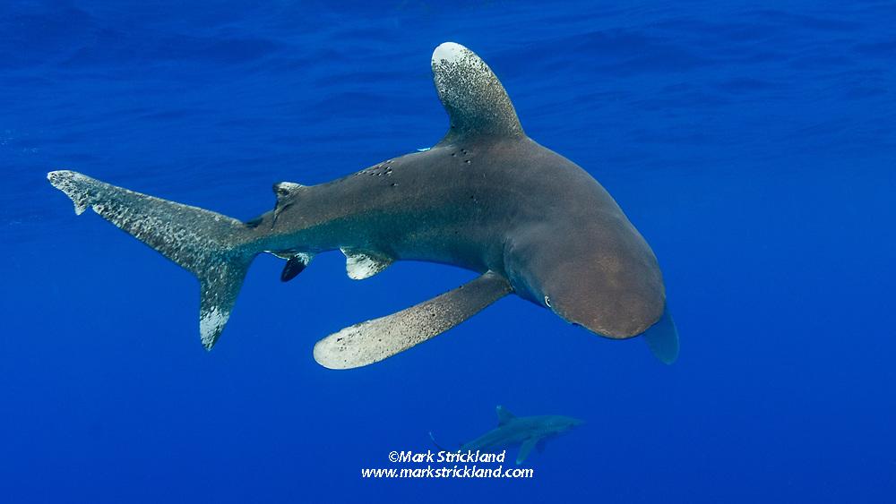 Oceanic Whitetip Sharks, Carcharhinus longimanus, among the few truly pelagic shark species.    Bahamas, Atlantic Ocean