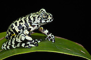 Tiger Tree Frog (Hyloscirtus sp cf tigrinus)<br /> CAPTIVE<br /> ECUADOR. South America<br /> RANGE: Ecuador<br /> Critically Endangered<br /> New undescribed species