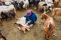 Mongolie, Arkhangai, campement nomade dans la steppe, femme nomade tond ses moutons // Mongolia, Arkhangai province, yurt nomad camp in the steppe, nomad woman shearing her sheep