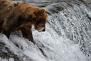 """A brown bear known as """"775"""" or """"Lefty"""" catches a sockeye salmon as it attempts to leap the falls on the Brooks River, Katmai National Park, Alaska."""