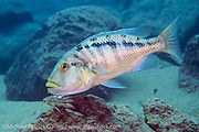 A female Buccochromis heterotaenia, one of the largest predatory cichlids in Lake Malawi, guards and mouthbroods her fry on a deep reef near Makulawe, Likoma Island, Lake Malawi, Malawi, Africa.