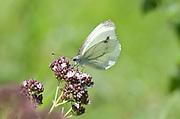 Large White Butterfly, Pieris brassicae, Babadag Forest woodland area, Dobrogea, Romania, feeding on flower in sunshine, tatty wings