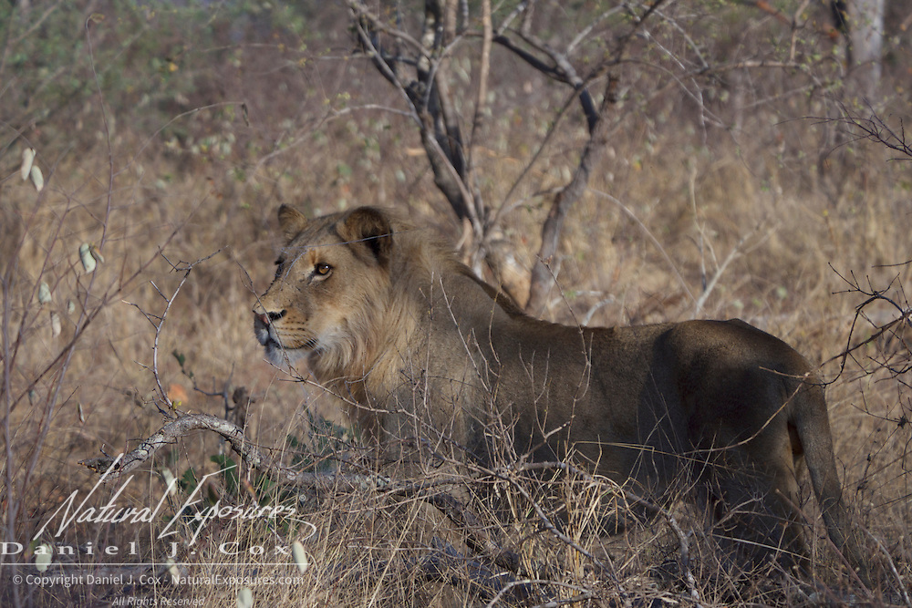 African lion, hunting, Timbavati Game Reserve, South Africa.