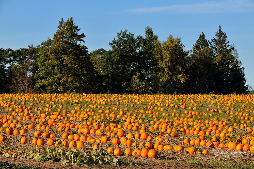 Pumpkin patch, near Ashland, Wisconsin, USA
