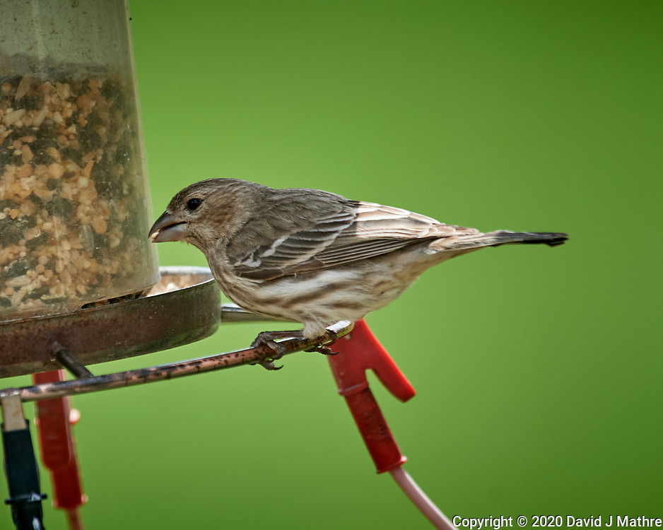Female House Finch. Image taken with a Nikon D5 camera and 600 mm f/4 VR lens (ISO 640, 600 mm, f/5.6, 1/1250 sec)