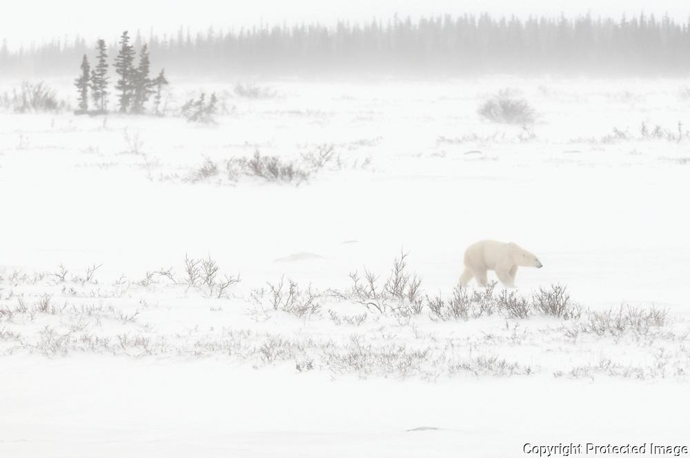 Polar bear (Ursus maritimus) on Hudson Bay coast<br />Churchill<br />Manitoba<br />Canada