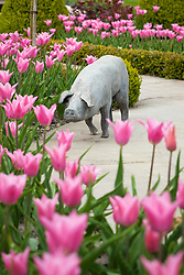Tulips in the Greenhouse Borders at Manor Farm House in spring. Tulipa 'China Pink' with stone pig sculpture