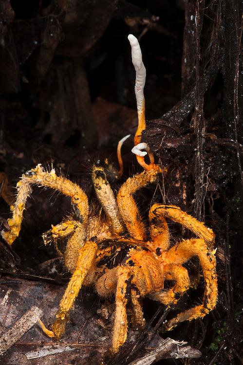 Cordyceps Fungus (Cordyceps sp) genus of ascomycete fungi invading Tarantula <br /> Yasuni National Park, Amazon Rainforest<br /> ECUADOR. South America<br /> HABITAT & RANGE: Humid temperate and tropical forests of South America and mostly Asia.