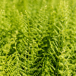 Ferns next to a field on Pearl Farm in Loudon, New Hampshire.