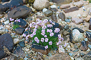 Coastal wildflowers, Sea Thrift or Sea Pink - Armeria maritima - on rock boulders on shoreline in Argyll, Western Scotland