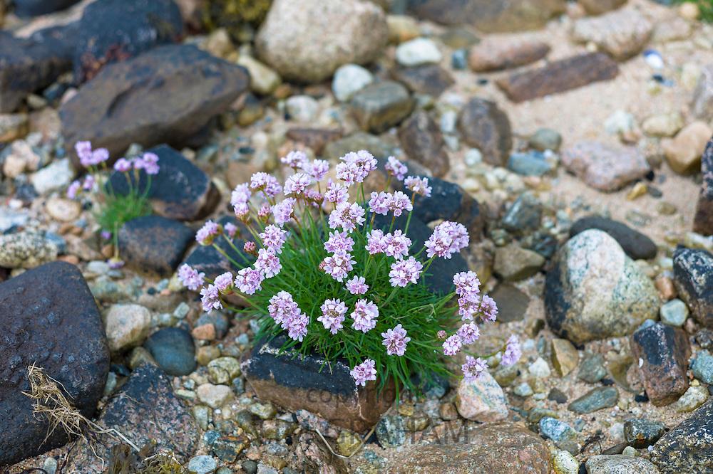 Coastal wildflowers, Sea Thrift or Sea Pink - Armeria maritima - on rock boulders on shoreline in Argyll, Western Scotland