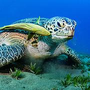 A green sea turtle (Chelonia mydas) feeding on Seagrass (Halophila stipulacea) with a remora fish (Echeneis naucrates) in the Red Sea off Marsa Alam, Egypt.