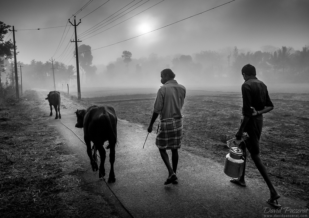Every morning these farmers bring there cows out the the fields.