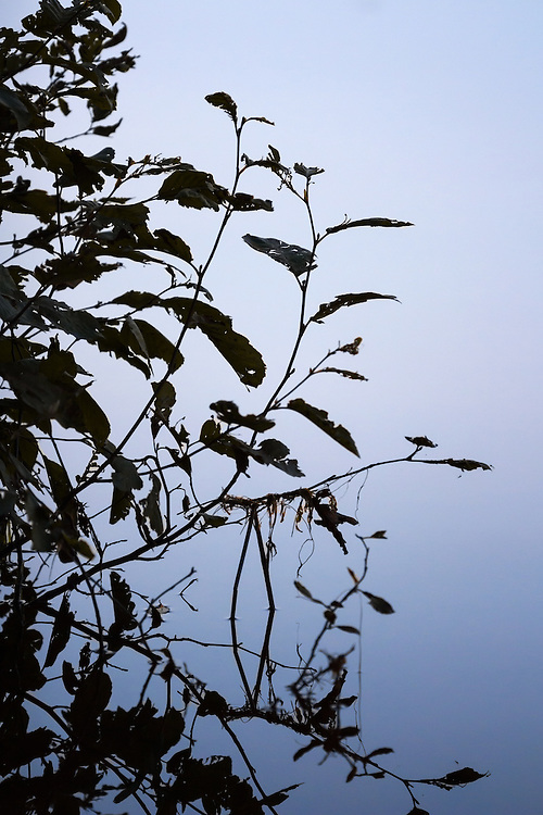 Silhouettes of leafy brush against a lake in the summer.
