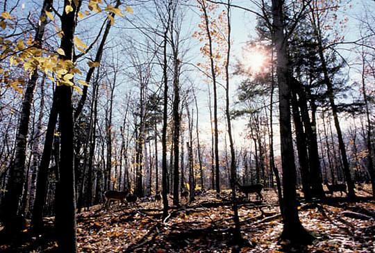 Whitetail Deer, (Odocoileus virginianus) Herd of deer in forest. Fall rut.