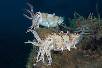 A Cuttlefish pair in defensive threat display<br /> <br /> Shot in Indonesia