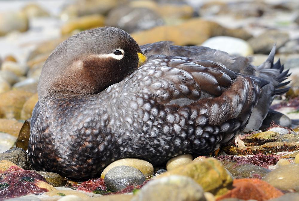 A Falkland Steamer Duck or Logger (Tachyeres brachypterus) on the beach at  Carcass Island. . Carcass Island, Falkland Islands. 15Feb16