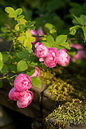 A close-up of Rosa 'Raubritter' on a moss covered balustrade at Newby Hall, Ripon, Yorkshire, UK