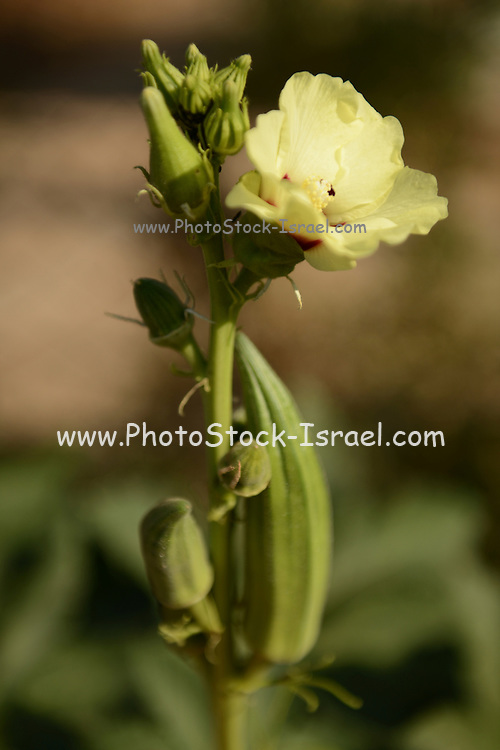 Flower and seed pod of an okra (Abelmoschus esculentus)