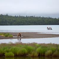 USA, Alaska, Katmai. Sparring grizzlies on shore as boaters wait.