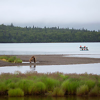 USA, Alaska, Katmai. Sparring grizzlies on shore as boaters wait.