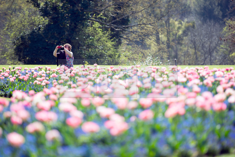 © Licensed to London News Pictures. 16/04/2014. Cliveden, UK. People enjoy a display of Angelique tulips.  People enjoy the   sunshine at Cliveden in Buckinghamshire today 16th April 2014. Photo credit : Stephen Simpson/LNP