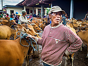 06 AUGUST 2017 - MENGWI, BALI, INDONESIA: A man with a Balinese cow he's hoping to sell in the Bringkit Market in Mengwi, about 30 minutes from Denpasar. Bringkit Market is famous on Bali for its Sunday livestock and poultry market. Hundreds of the small Bali cows are bought and sold there every week. Bali's local markets are open on an every three day rotating schedule because venders travel from town to town. Before modern refrigeration and convenience stores became common place on Bali, markets were thriving community gatherings. Fewer people shop at markets now as more and more consumers go to convenience stores and more families have refrigerators.     PHOTO BY JACK KURTZ