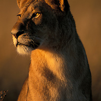 Botswana, Chobe National Park, Lioness (Panthera leo) is lit by rising sun in tall grass in Savuti Marsh