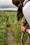 A red fox adult approaches a visitor at the McNeil River State Game Sanctuary on the Kenai Peninsula, Alaska. The remote site is accessed only with a special permit and is the world's largest seasonal population of brown bears in their natural environment.