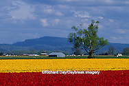 67221-00616 Lone tree and red & yellow tulips in field  Skagit Valley  WA