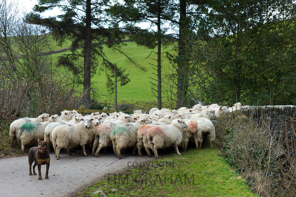 Sheep dog looks for help to control flock of sheep in the Doone Valley, Exmoor in North Devon, UK