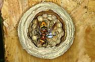 Hornet - Vespa crabro - Queen tending nest
